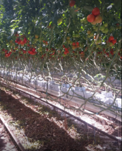 Company Pulls Plans for Tomato Greenhouses in Webster – C